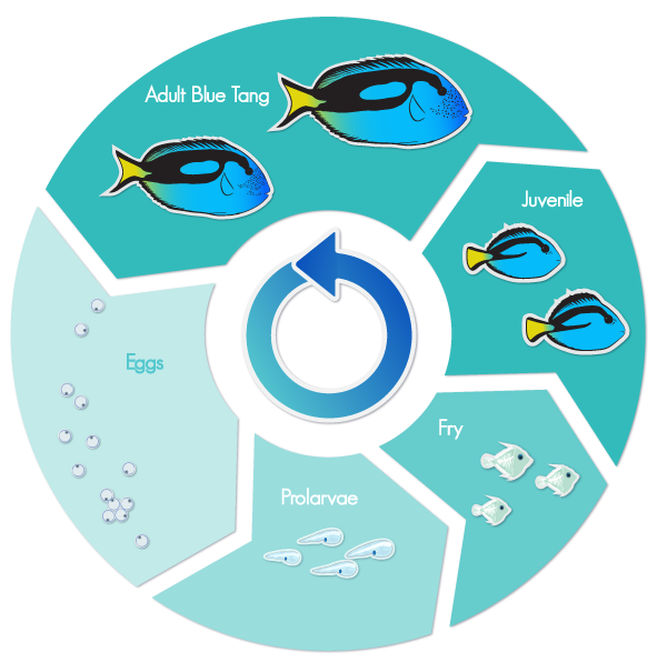 Life Cycle of the Blue Tang